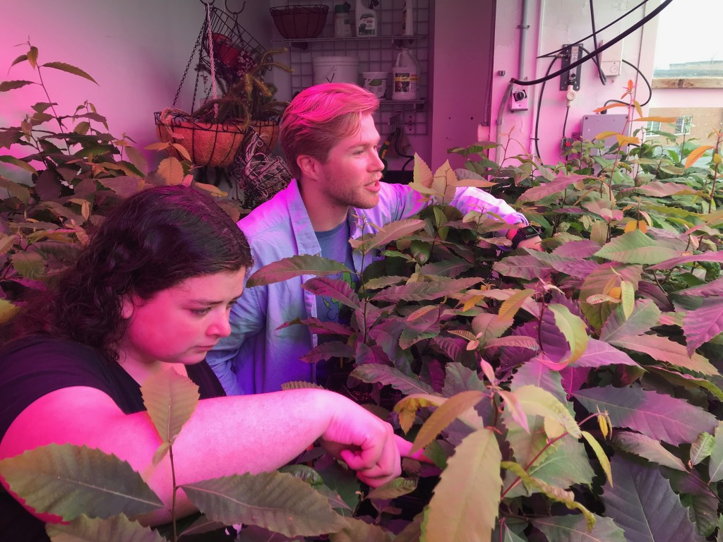 Students Jordan Paine and Thor Arnell tend to chestnut seedlings in the UNE greenhouse