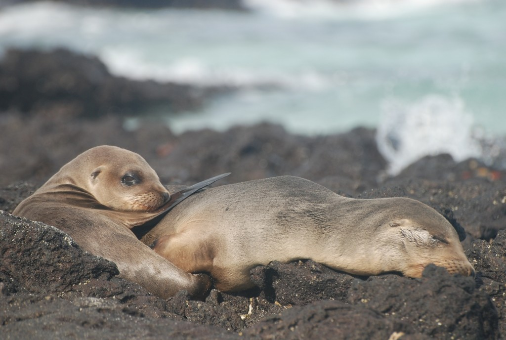 Seals in the Galapagos