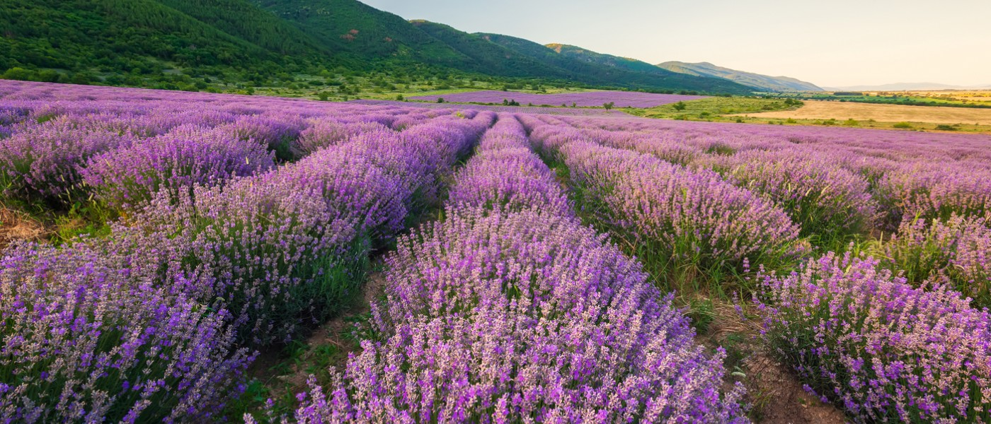 Beautiful lavender fields near Aix-en-Provence