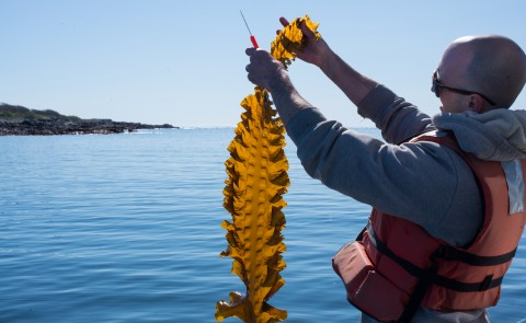 Adam St. Gelais looks at a piece of kelp harvested from UNE's farm