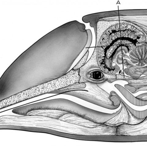 Brain of bottlenose dolphin in situ showing planes of serial section used. From: The Anatomy of the Brain of the Bottlenose Dolp